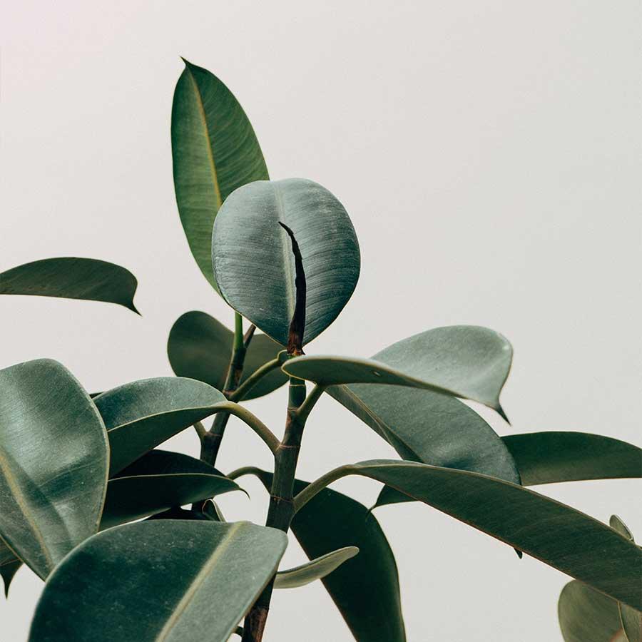 Plantas - Omassi